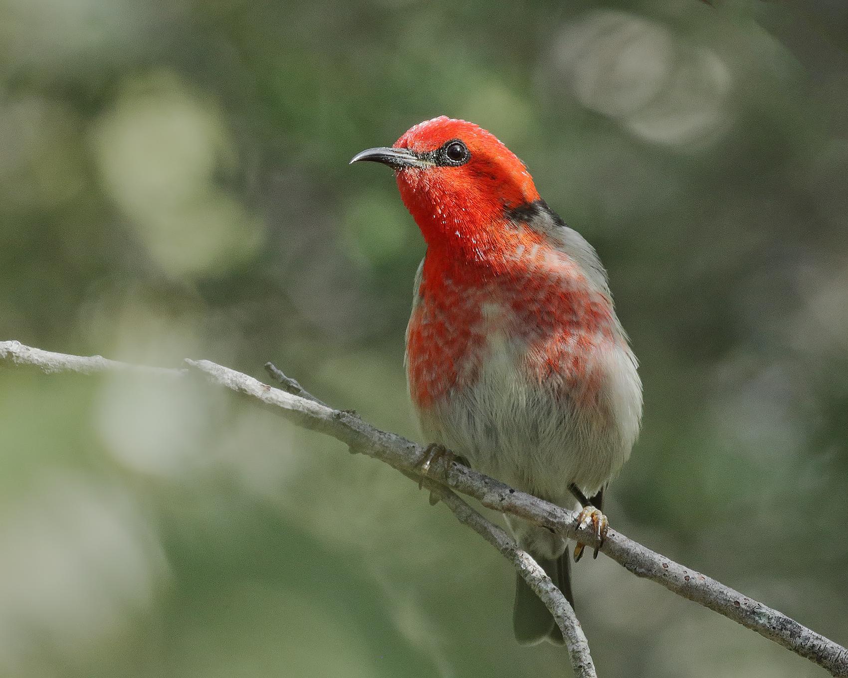 Scarlet Honeyeater (Image ID 42004)
