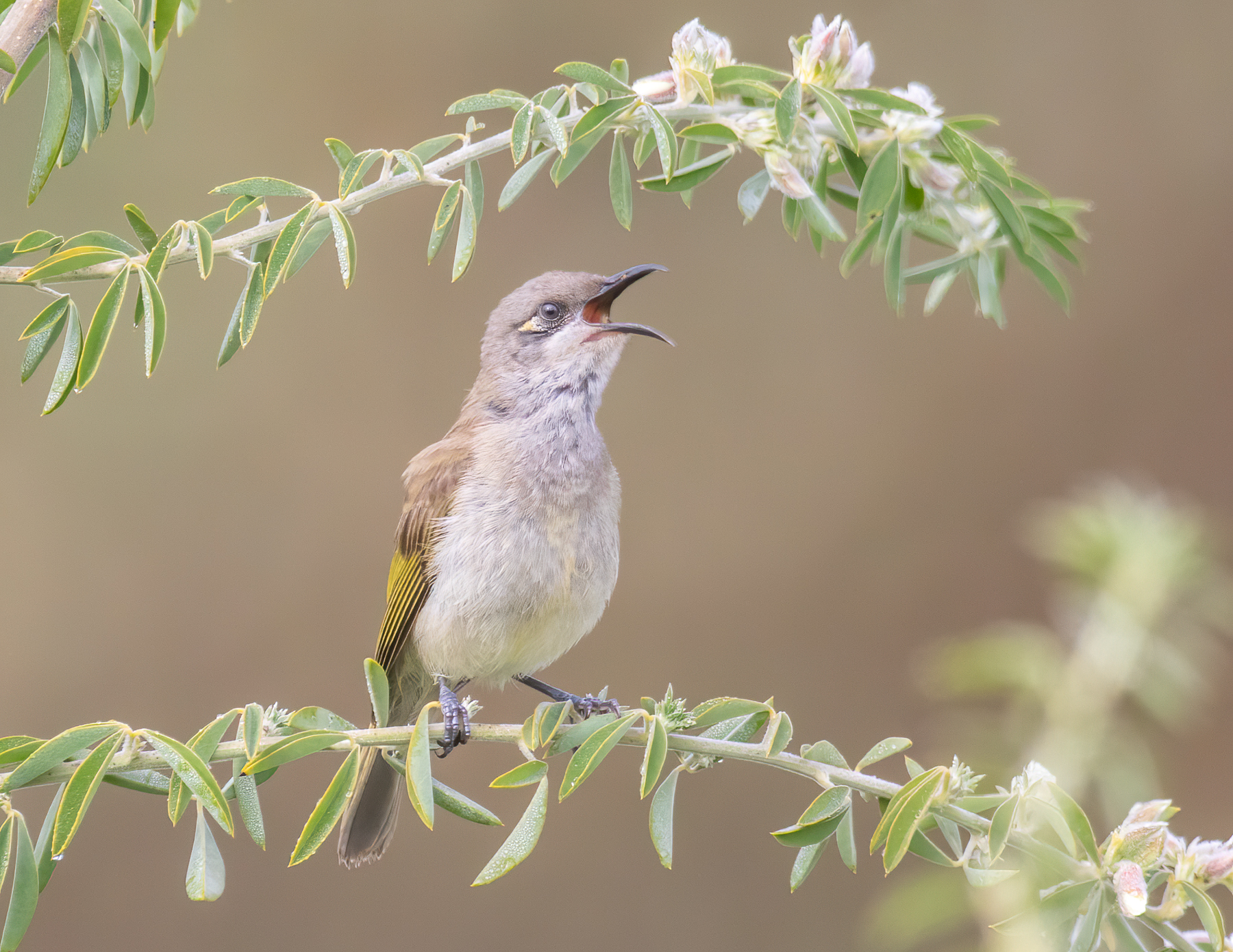 Brown Honeyeater (Image ID 41887)