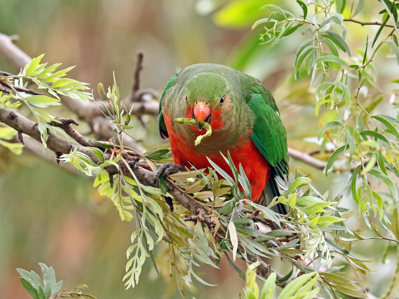 Australian King-Parrot (Image ID 41984)