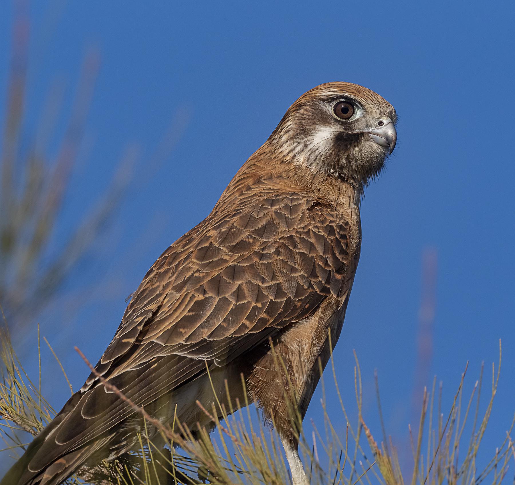 Brown Falcon (Image ID 41880)