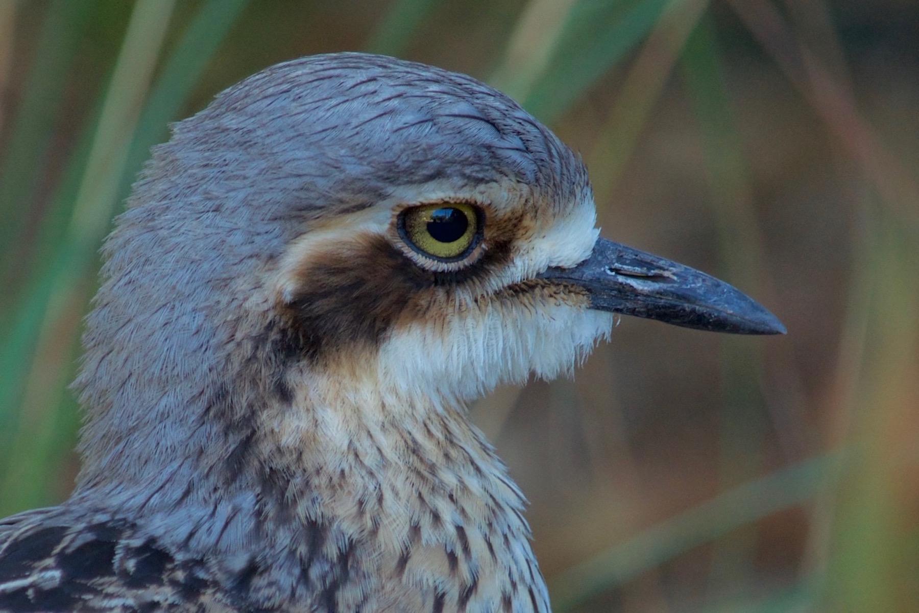 Bush Stone-curlew (Image ID 41615)
