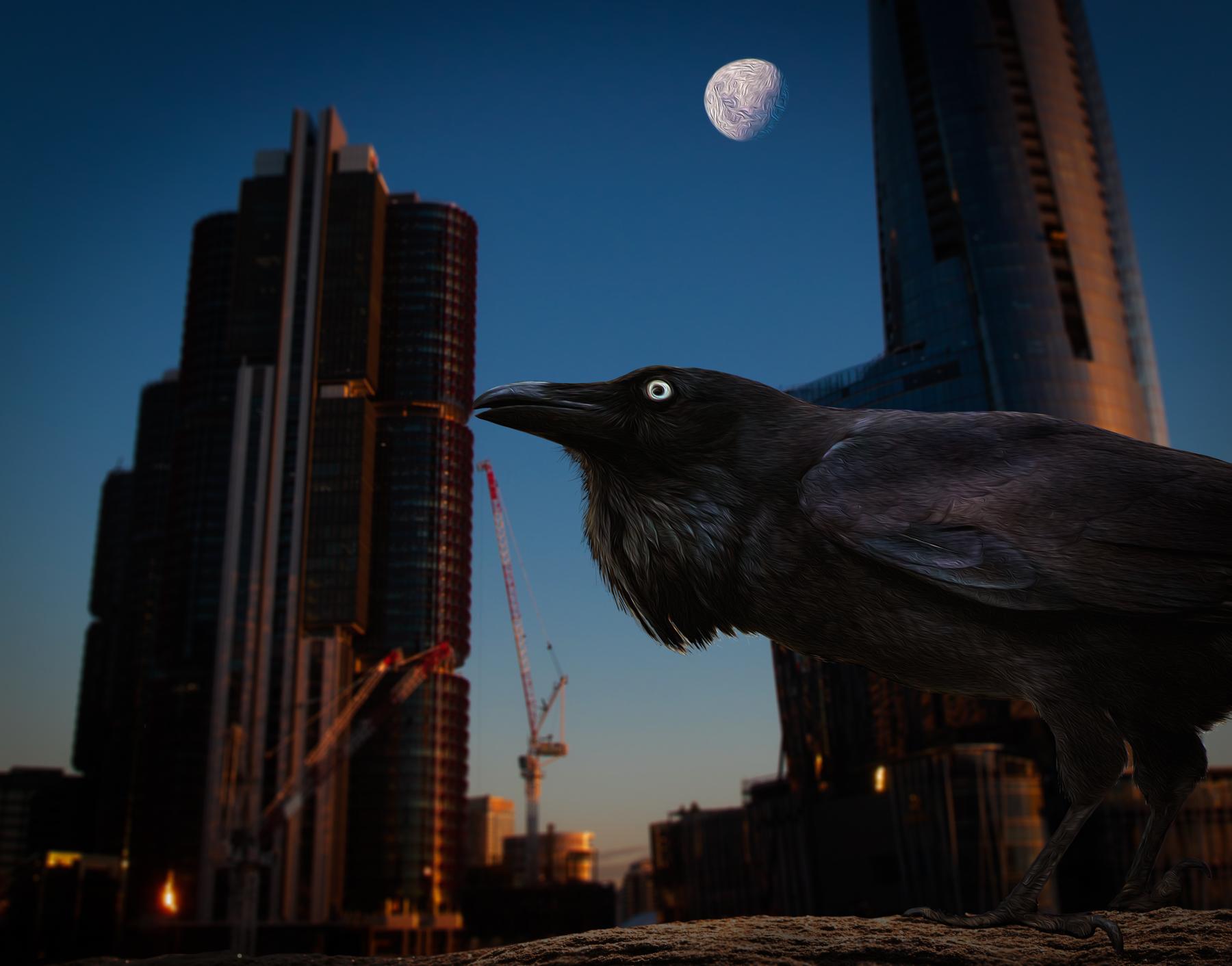 Australian Raven (Image ID 42030)