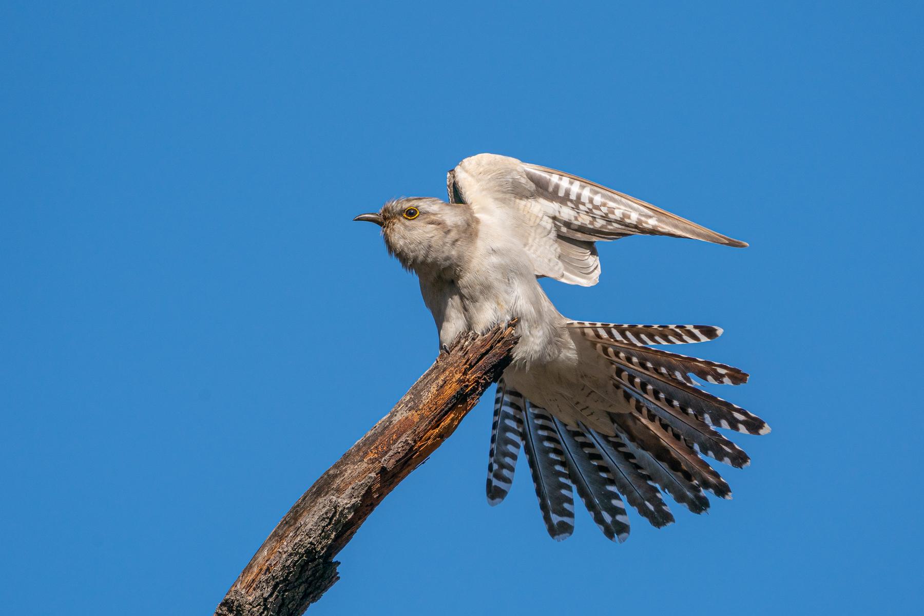 Pallid Cuckoo (Image ID 42460)