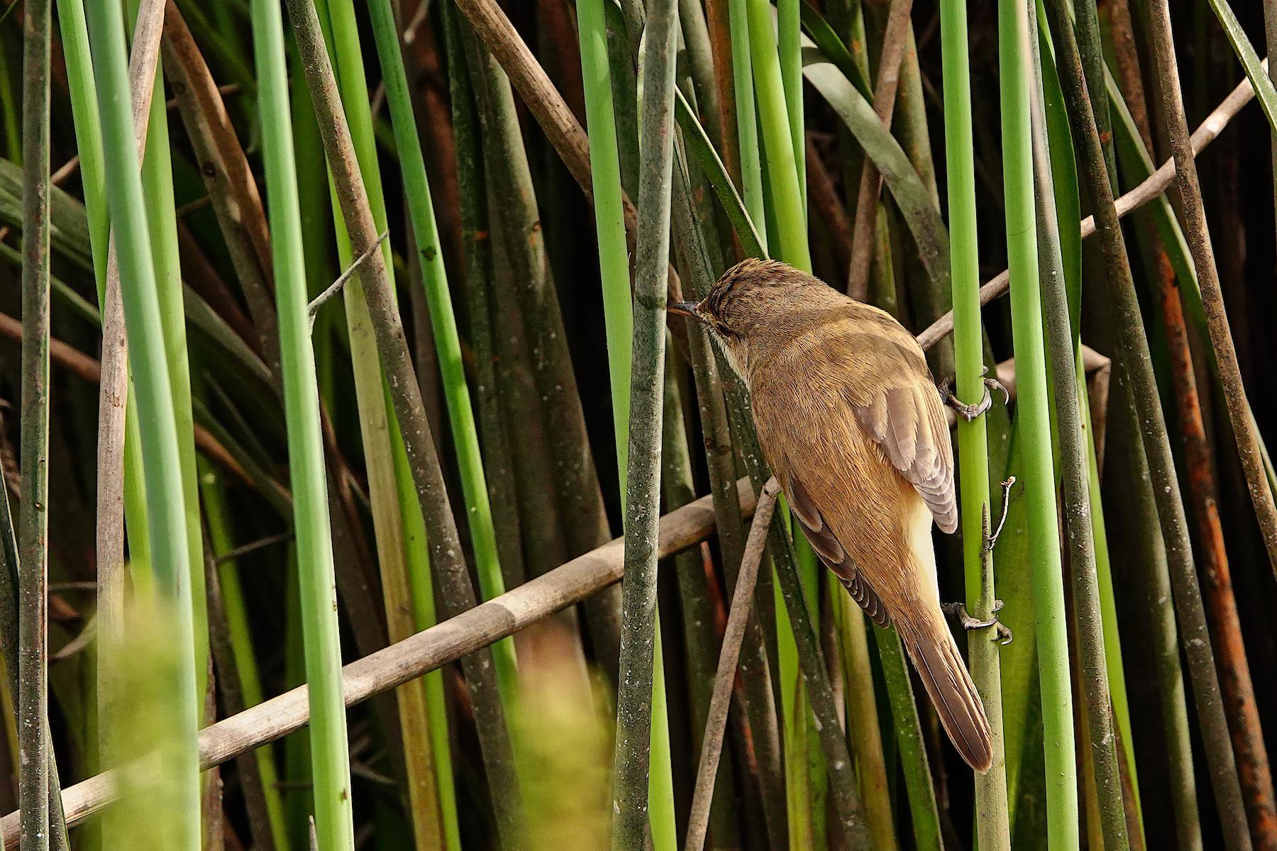 Australian Reed-Warbler (Image ID 42622)