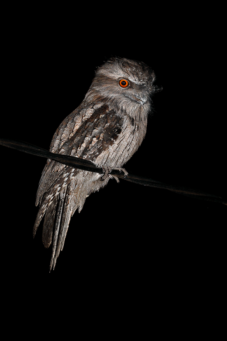 Tawny Frogmouth (Image ID 42542)