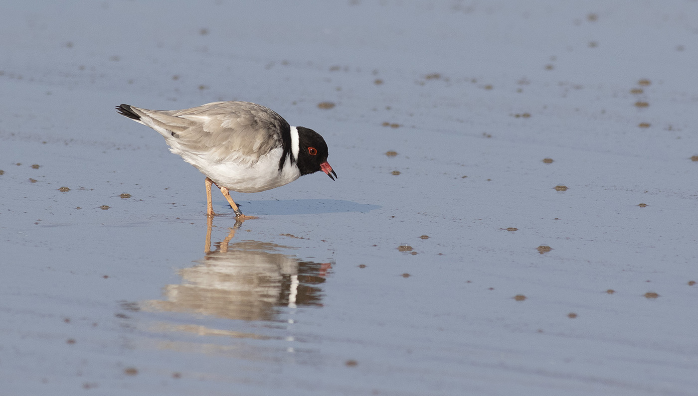 Hooded Plover (Image ID 42551)