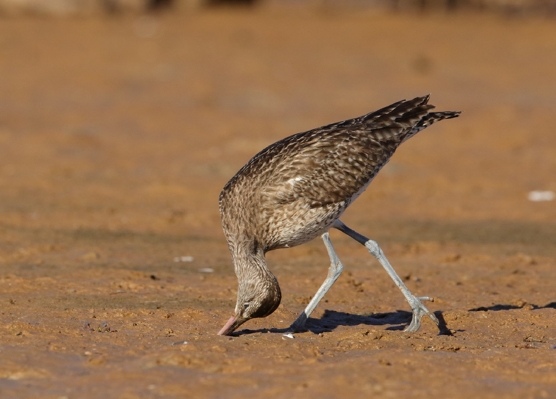 Whimbrel (Image ID 42179)