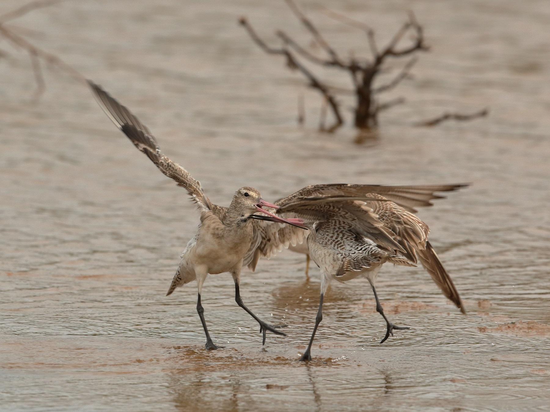 Bar-tailed Godwit (Image ID 42178)