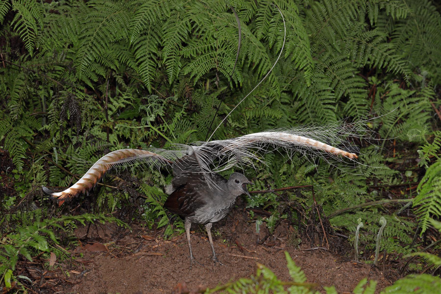 Superb Lyrebird (Image ID 42556)