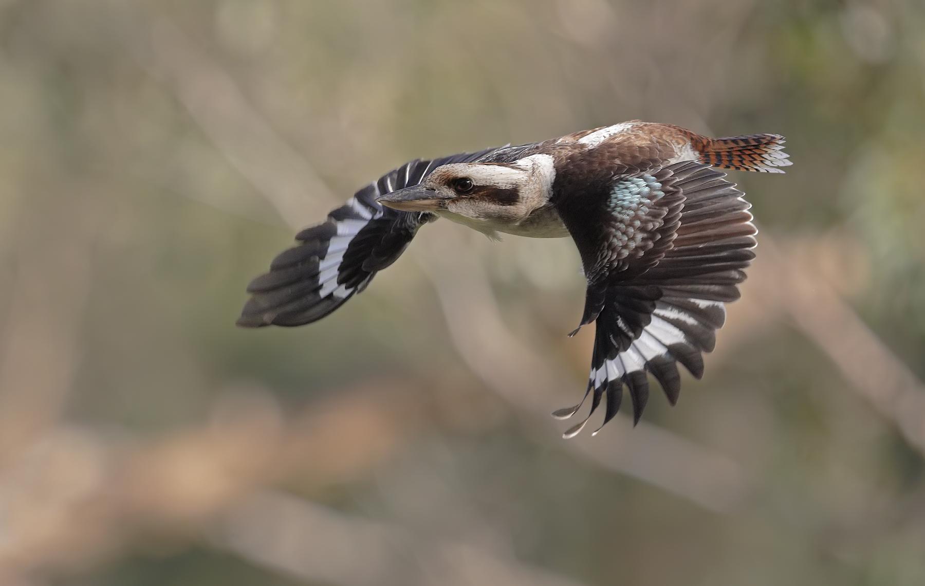 Laughing Kookaburra (Image ID 42197)