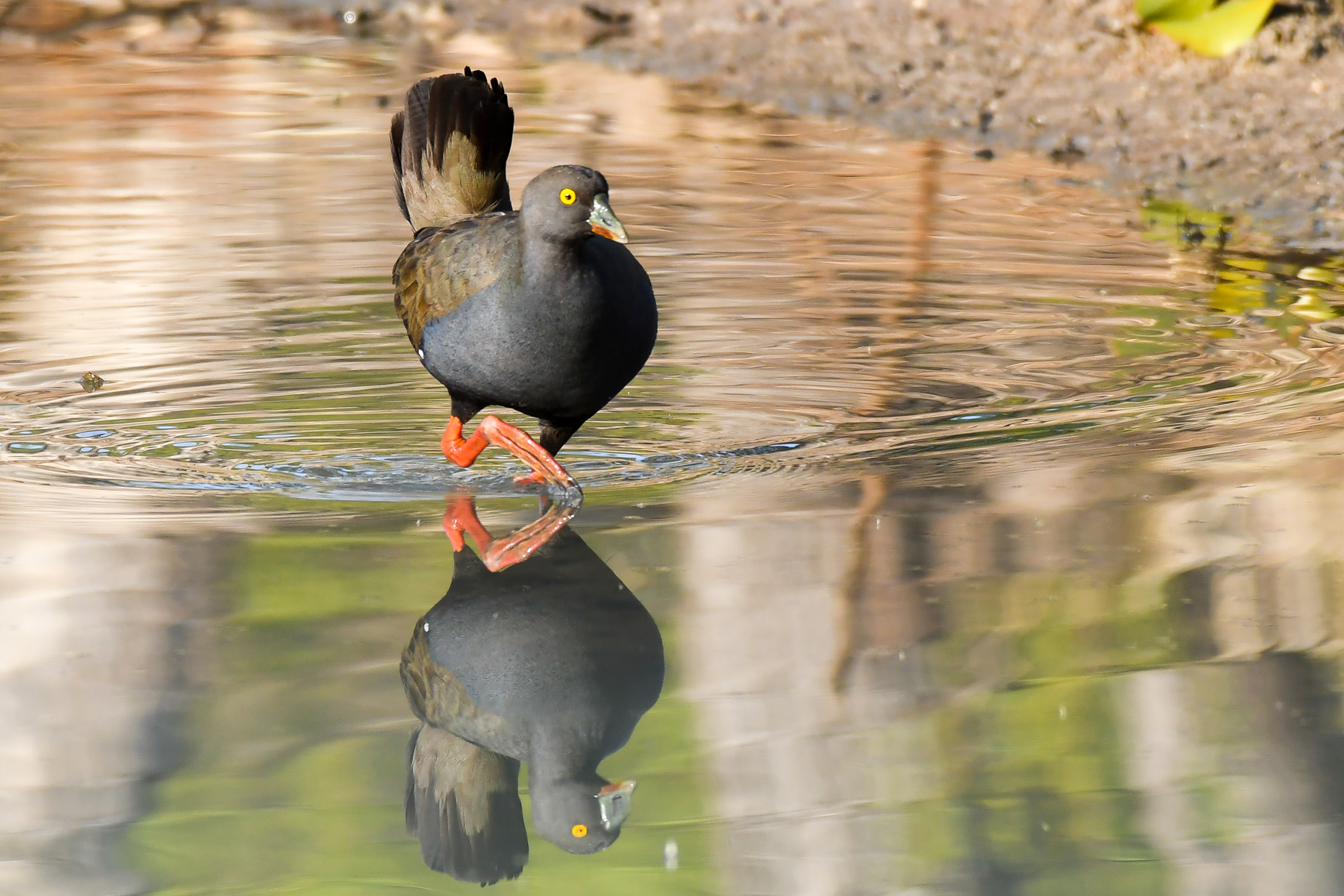 Black-tailed Native-hen (Image ID 42505)