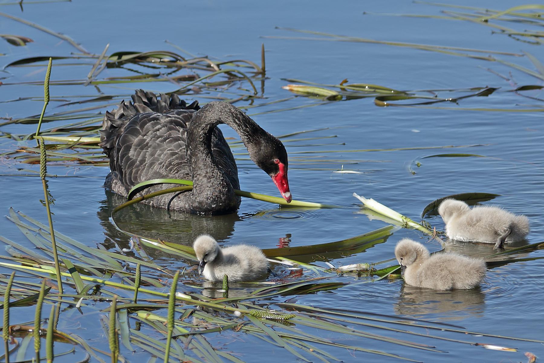 Black Swan (Image ID 42344)