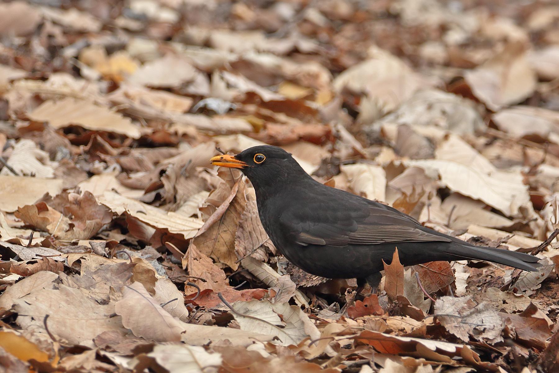 Common Blackbird (Image ID 42193)