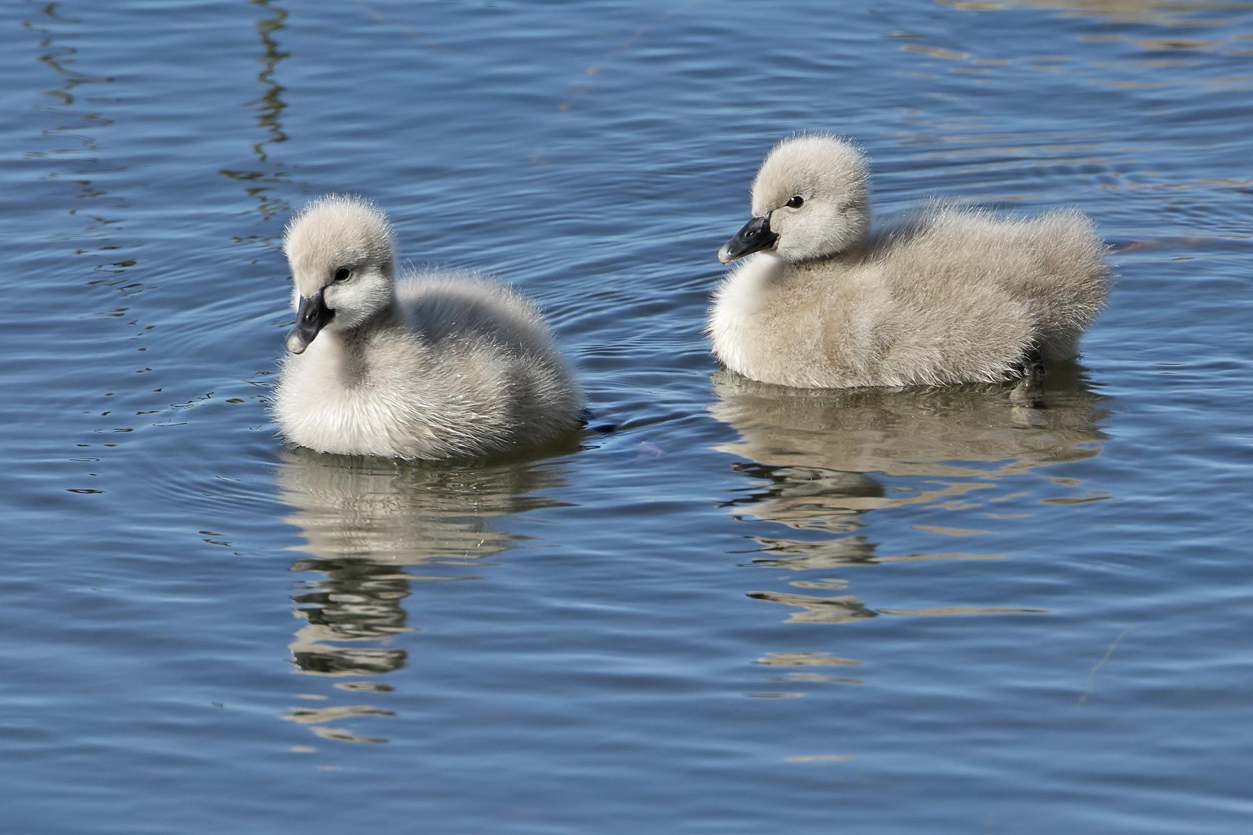 Black Swan (Image ID 42345)