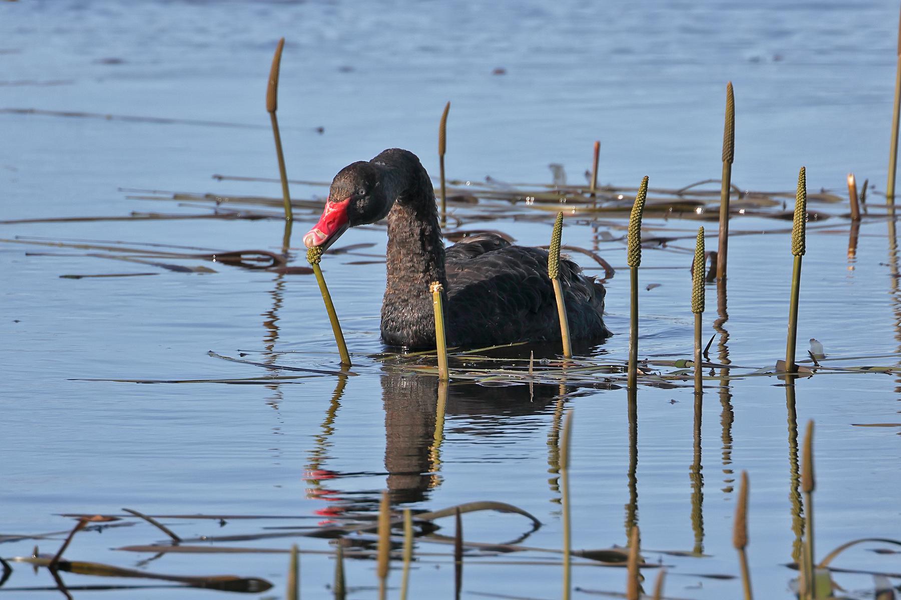 Black Swan (Image ID 42588)