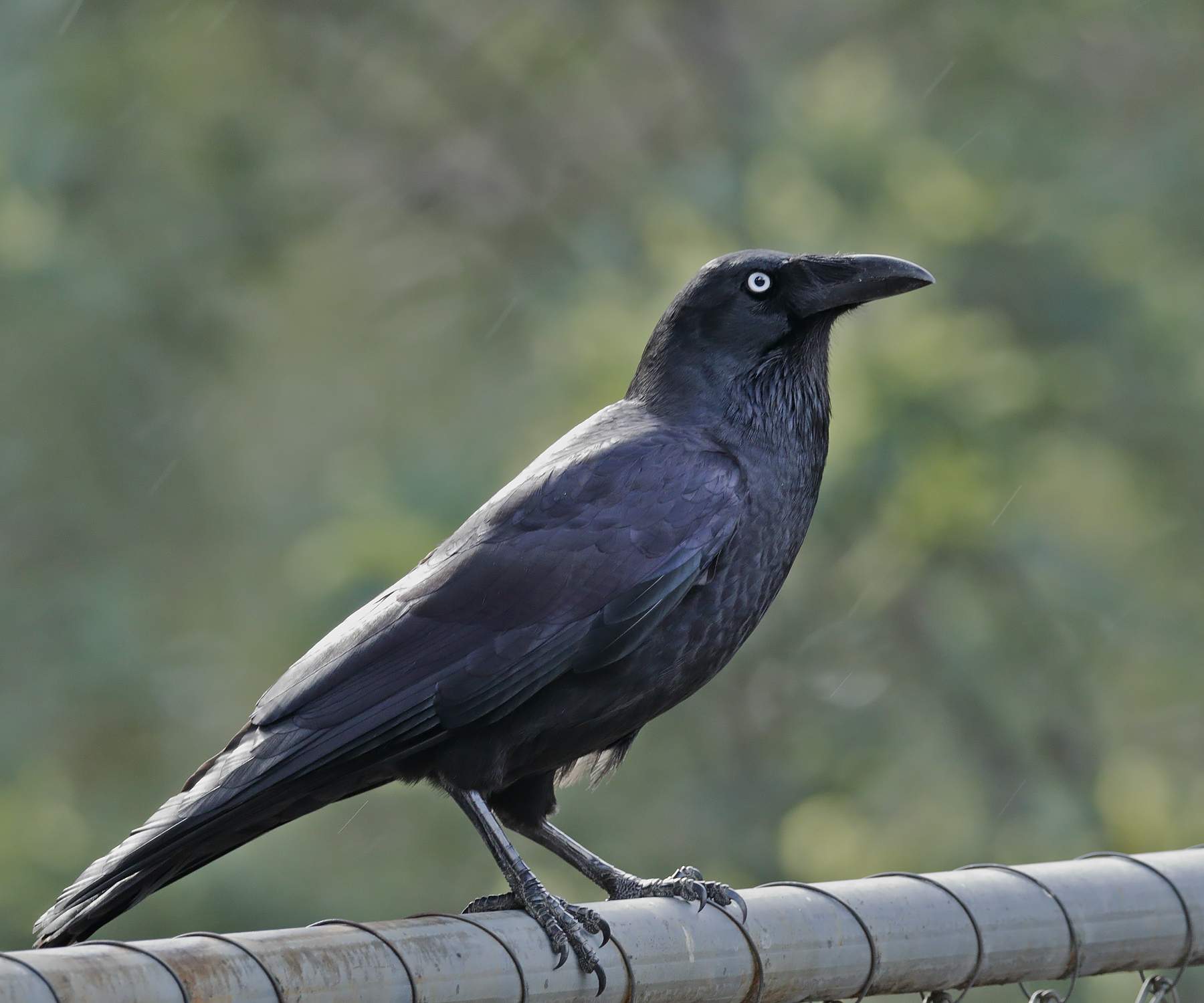 Forest Raven (Image ID 42249)