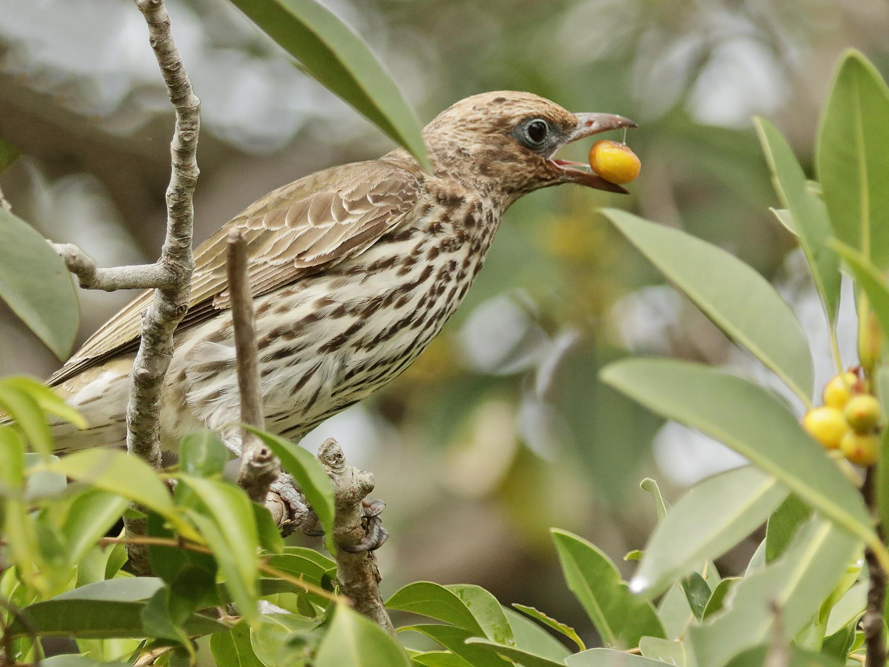 Australasian Figbird (Image ID 42378)