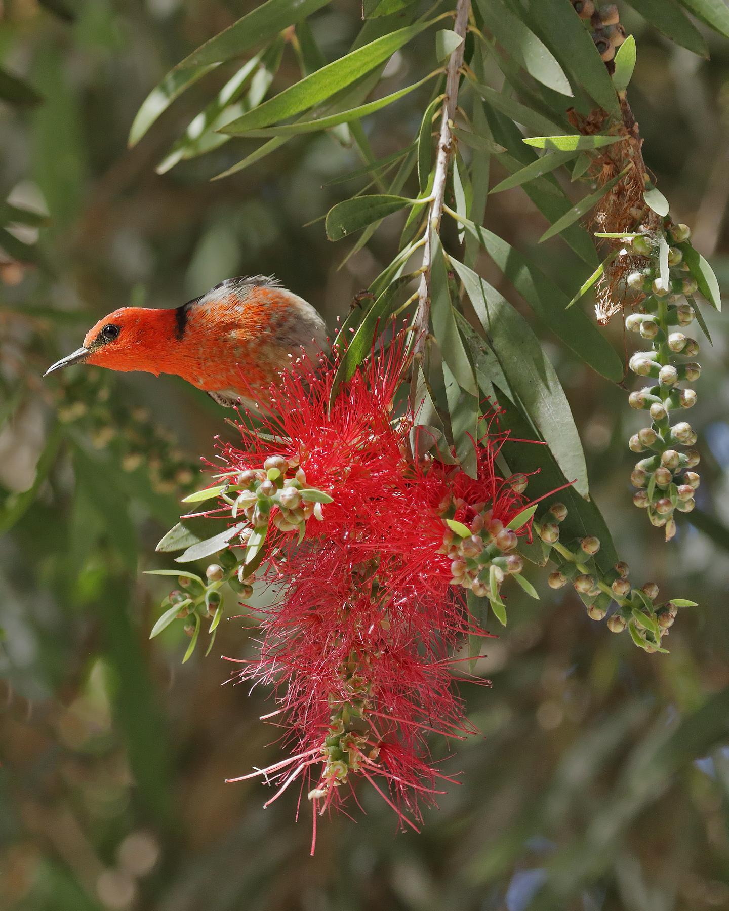Scarlet Honeyeater (Image ID 42379)