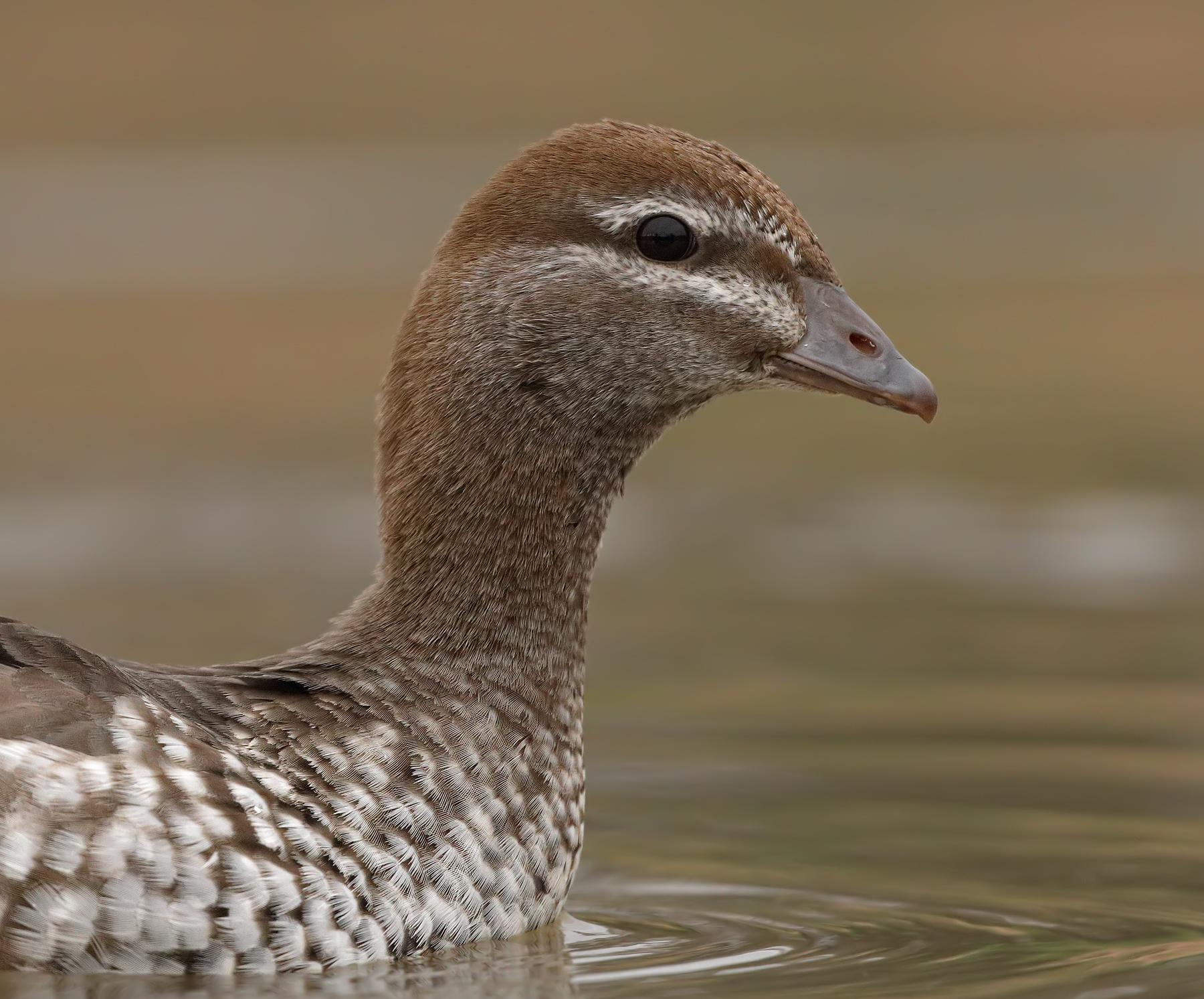 Australian Wood Duck (Image ID 42473)