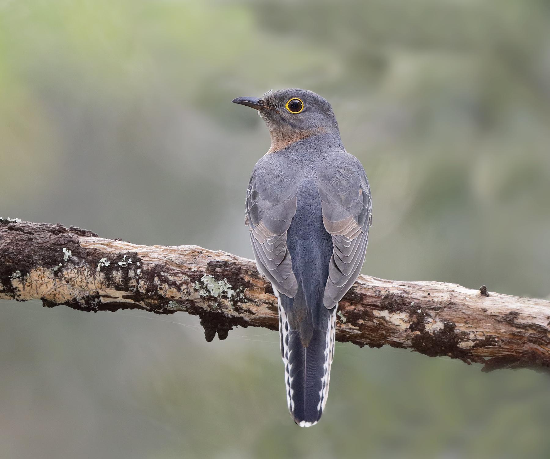 Fan-tailed Cuckoo (Image ID 42628)
