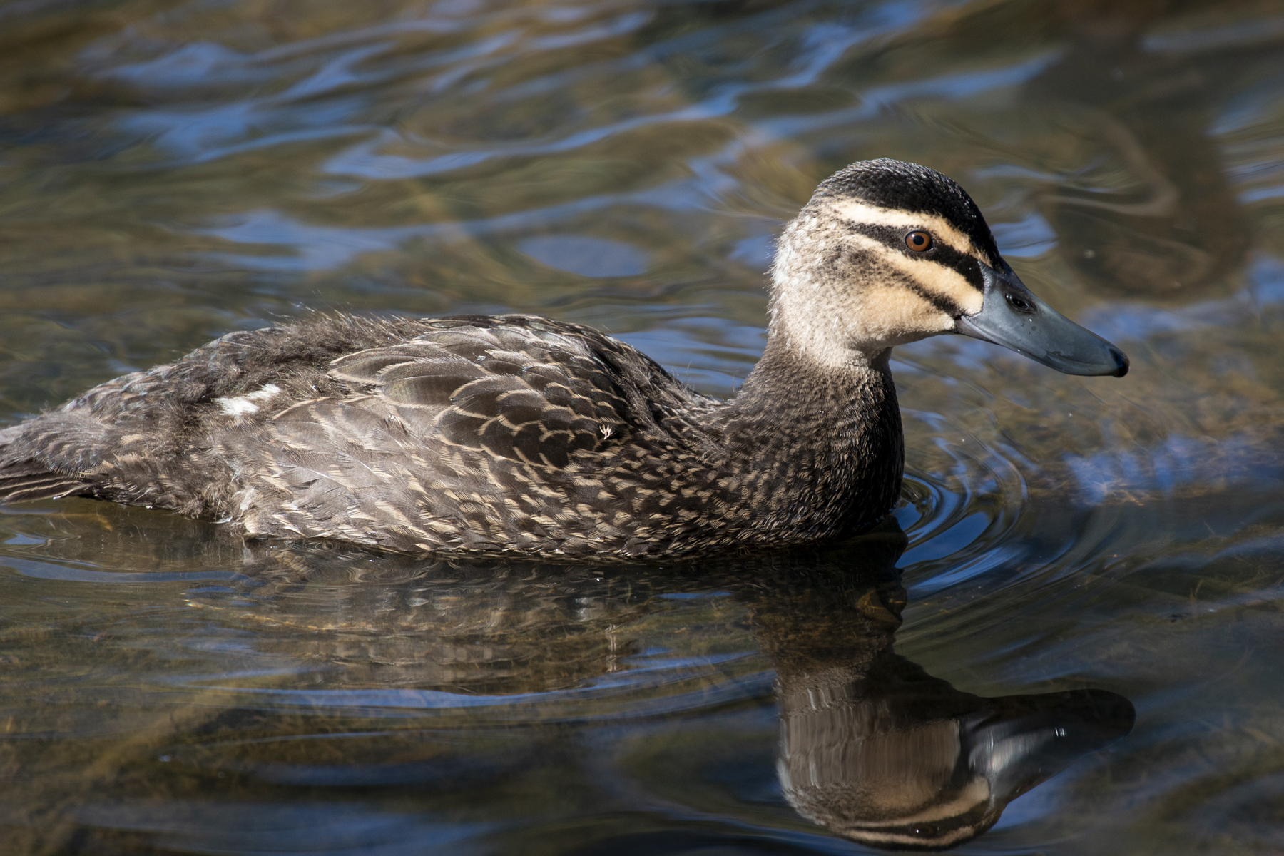 Pacific Black Duck (Image ID 42295)