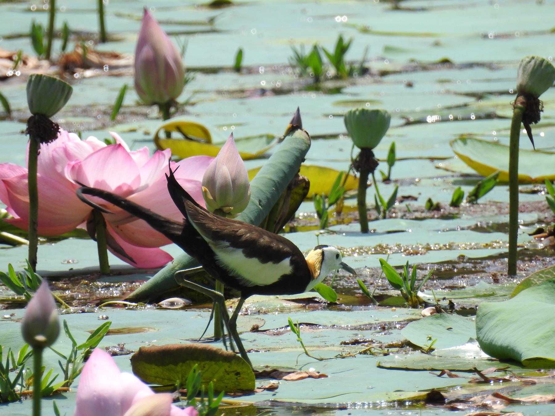 Pheasant-tailed Jacana (V) (Image ID 42609)