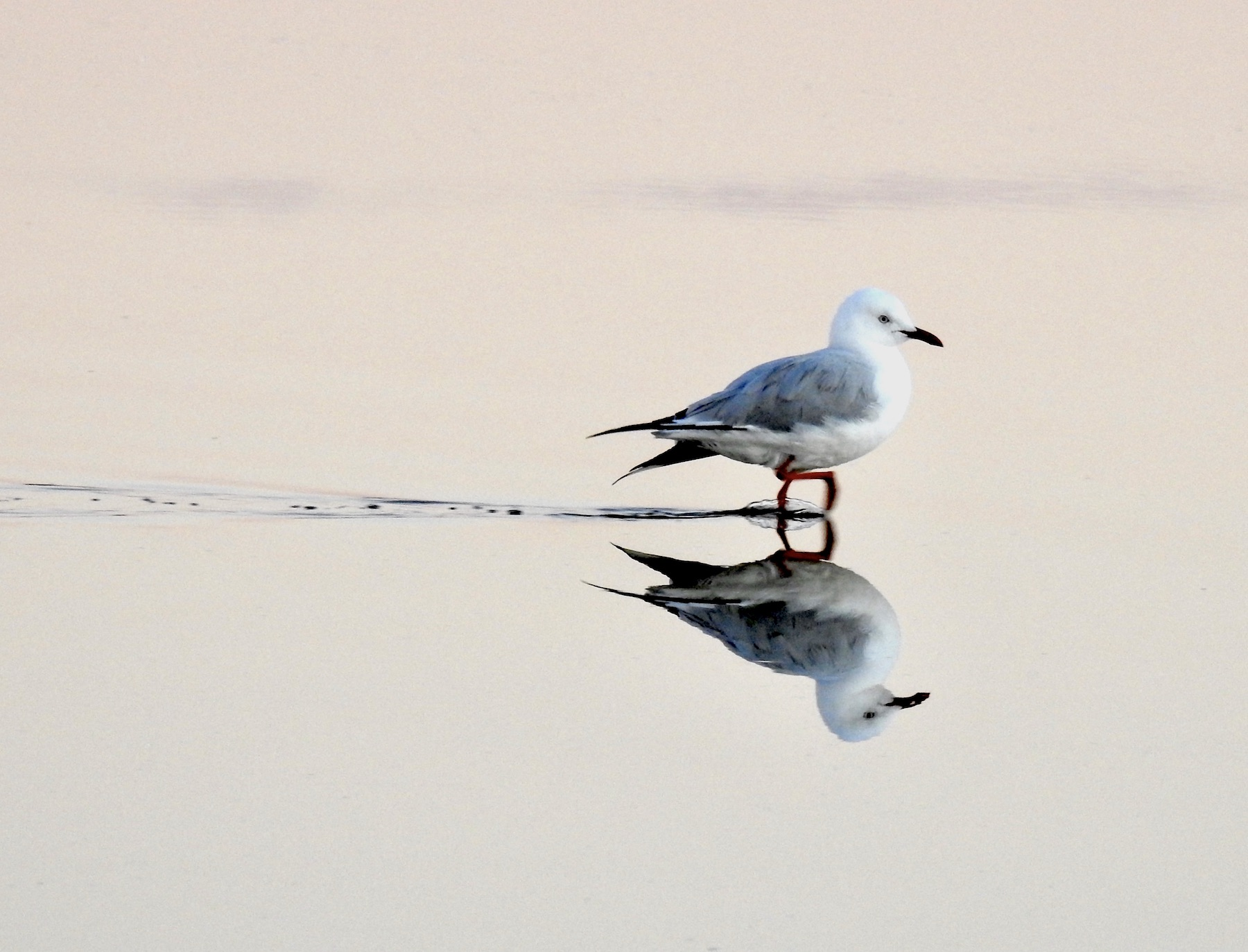 Silver Gull (Image ID 42404)