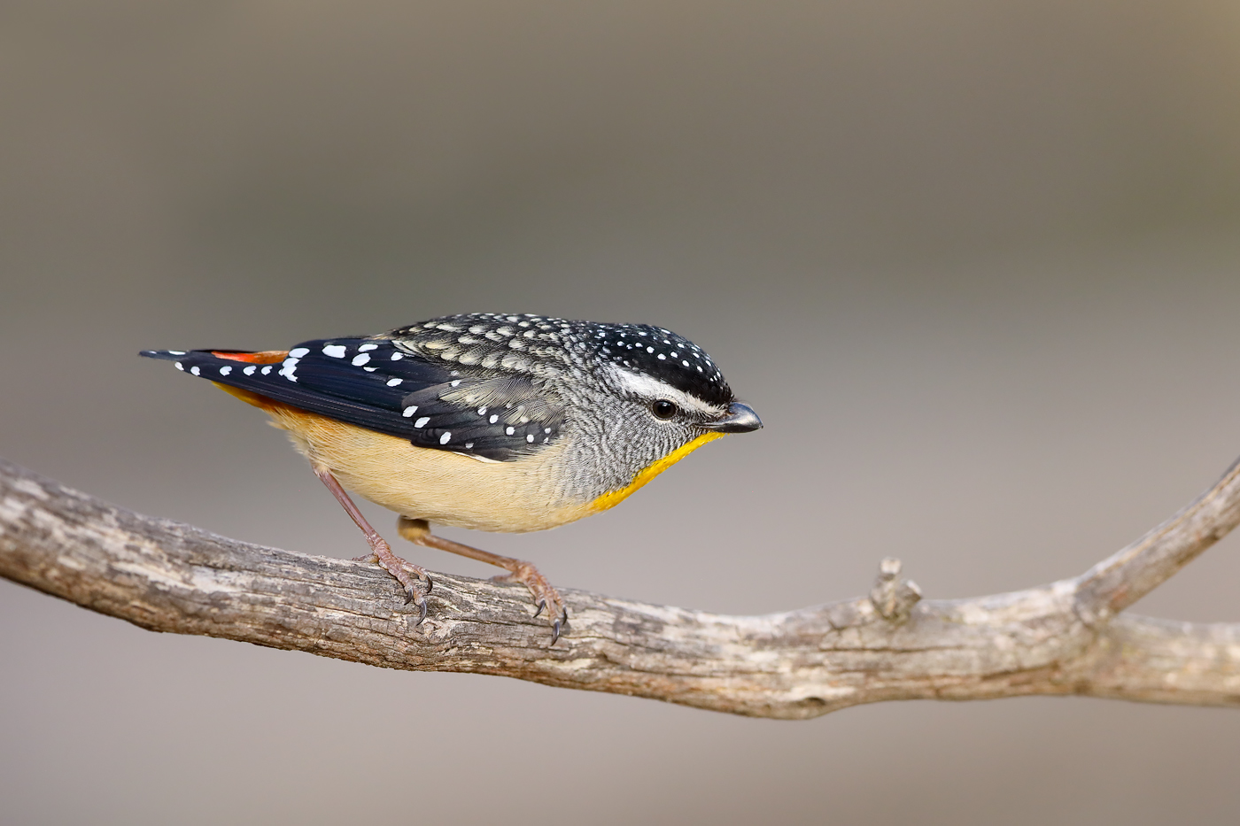 Spotted Pardalote (Image ID 42504)