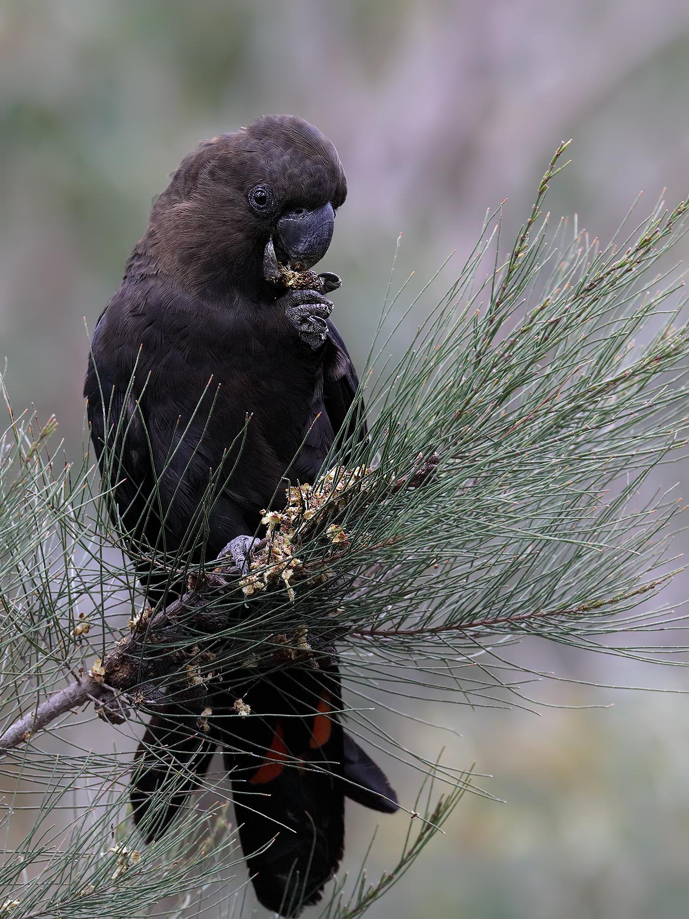 Glossy Black-Cockatoo (Image ID 42548)