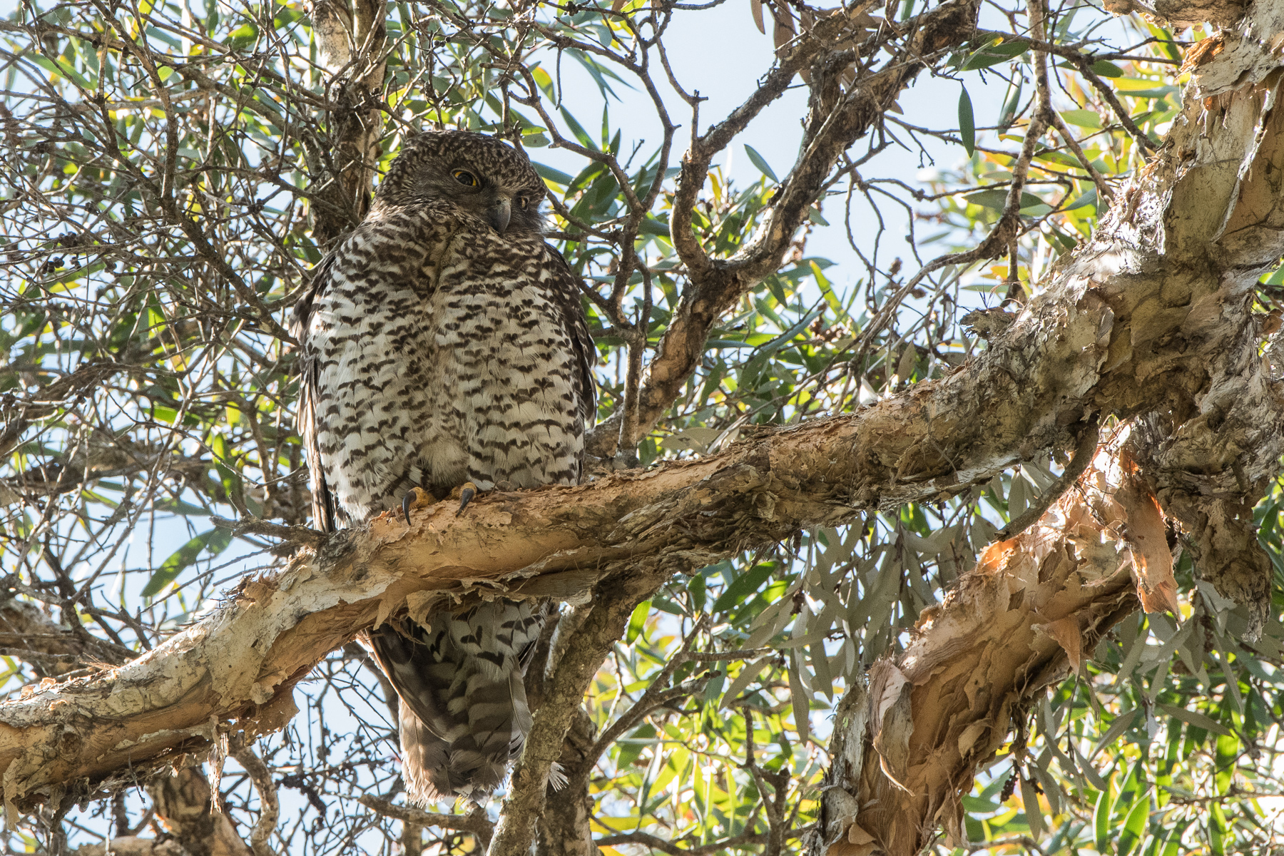 Powerful Owl (Image ID 42545)