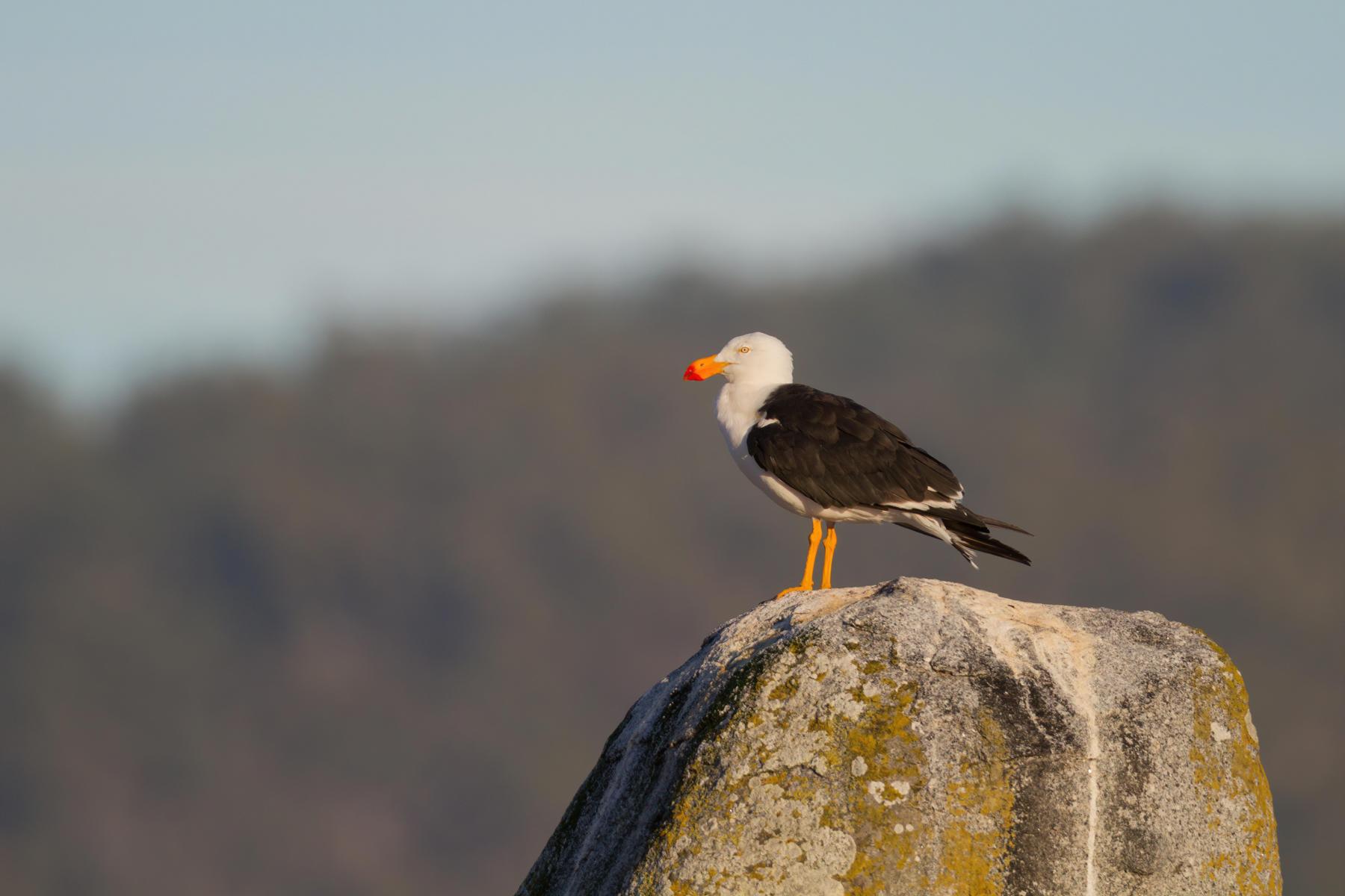 Pacific Gull (Image ID 42398)