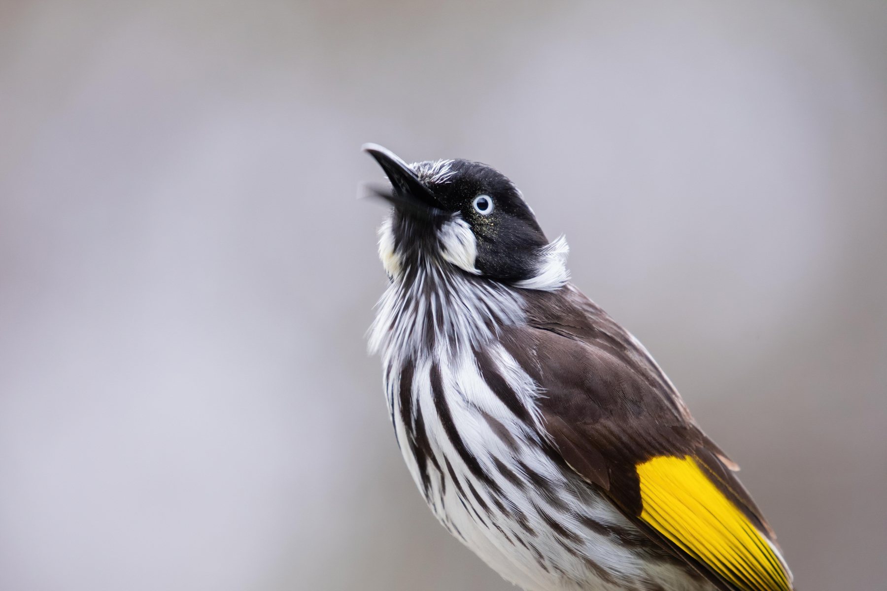 New Holland Honeyeater (Image ID 42276)