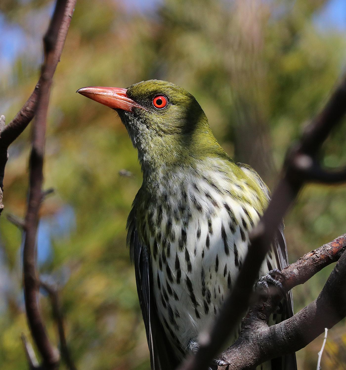 Olive-backed Oriole (Image ID 42600)