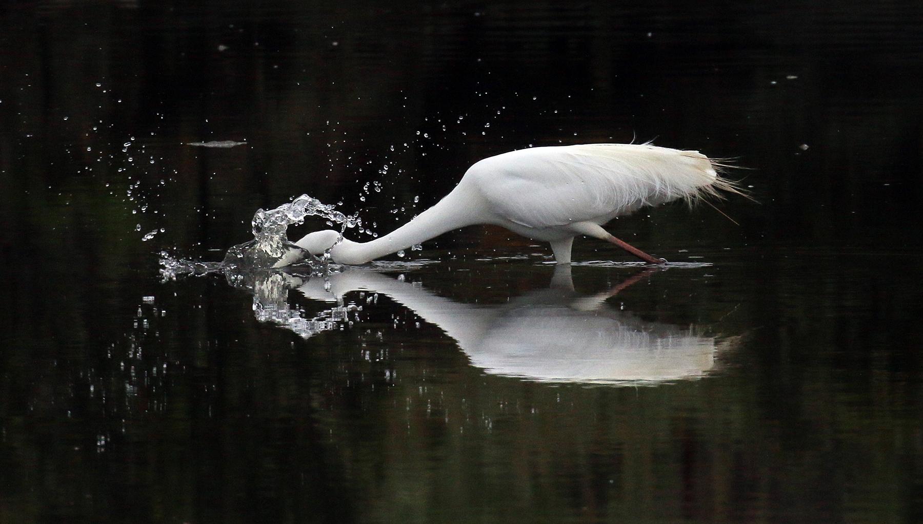 Great Egret (Image ID 42597)