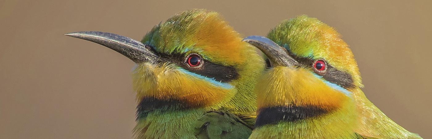 Rainbow Bee-eater (Image ID 42388)