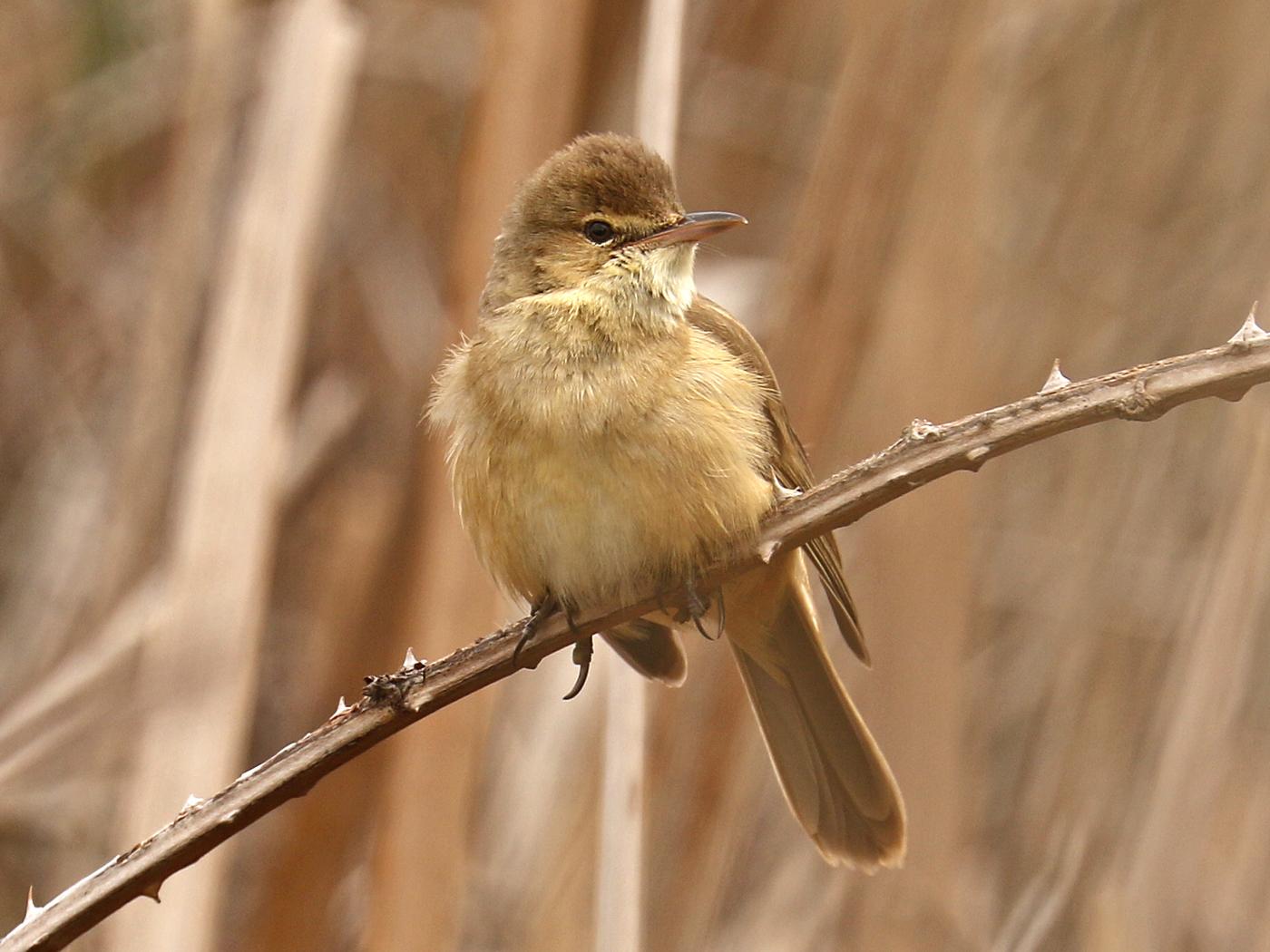 Australian Reed-Warbler (Image ID 42183)