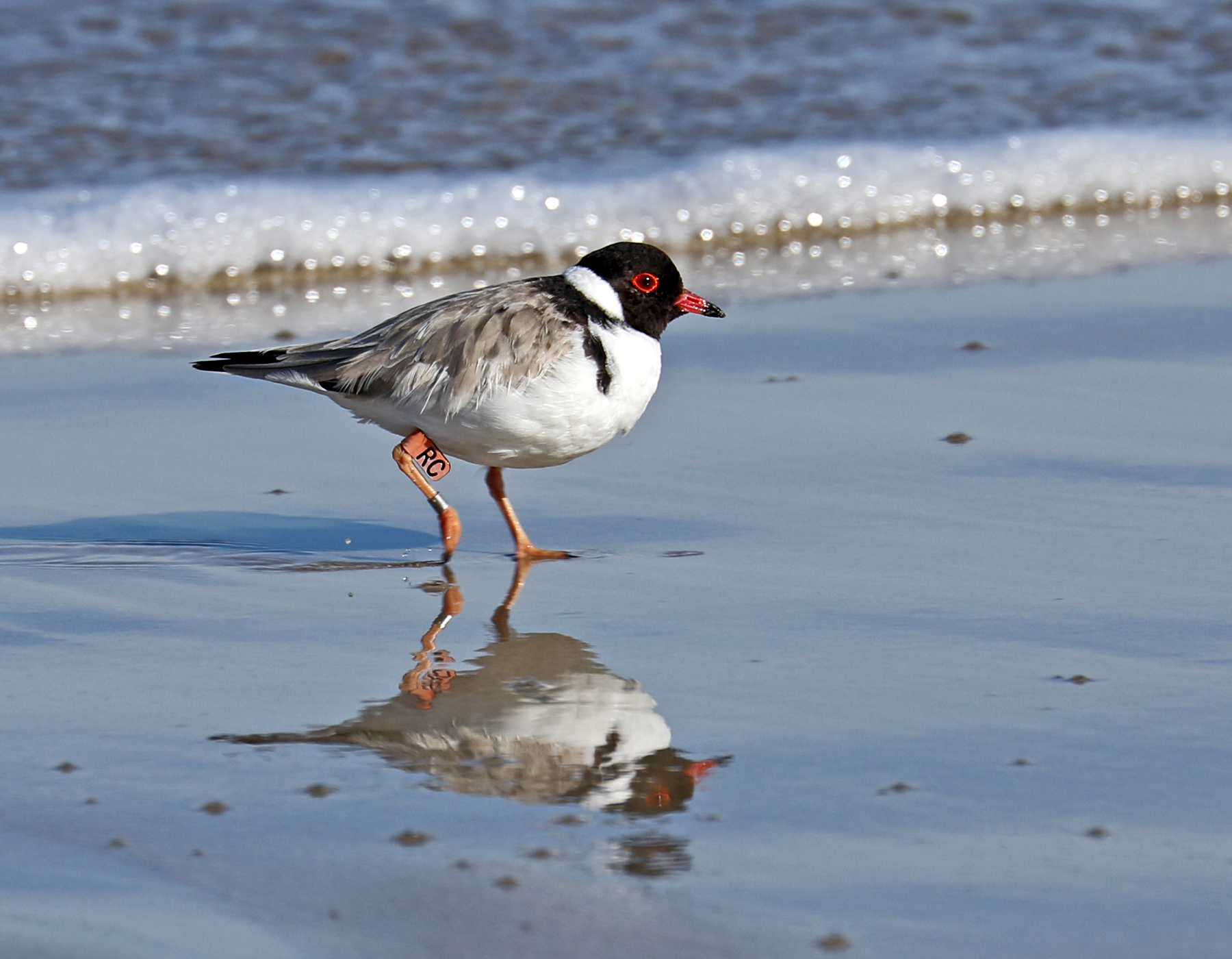 Hooded Plover (Image ID 42424)