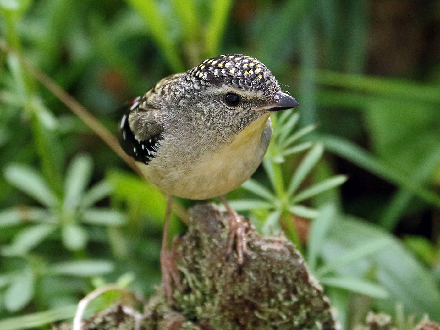 Spotted Pardalote (Image ID 42261)