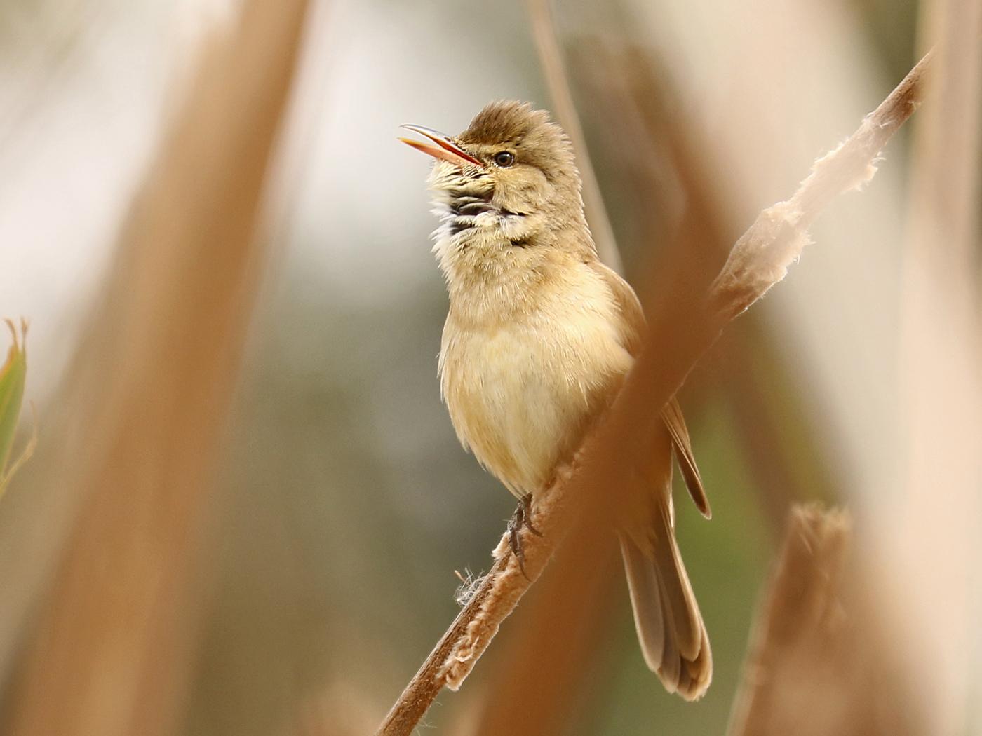 Australian Reed-Warbler (Image ID 42182)
