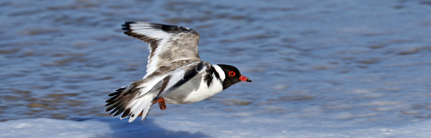Hooded Plover (Image ID 42423)