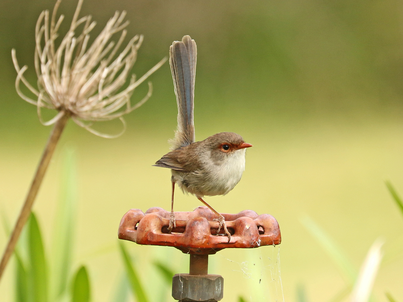 Superb Fairy-wren (Image ID 42299)
