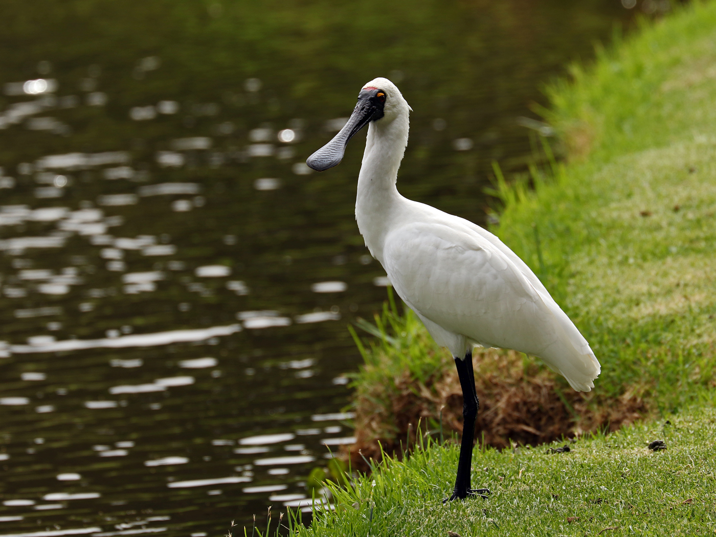 Royal Spoonbill (Image ID 42260)