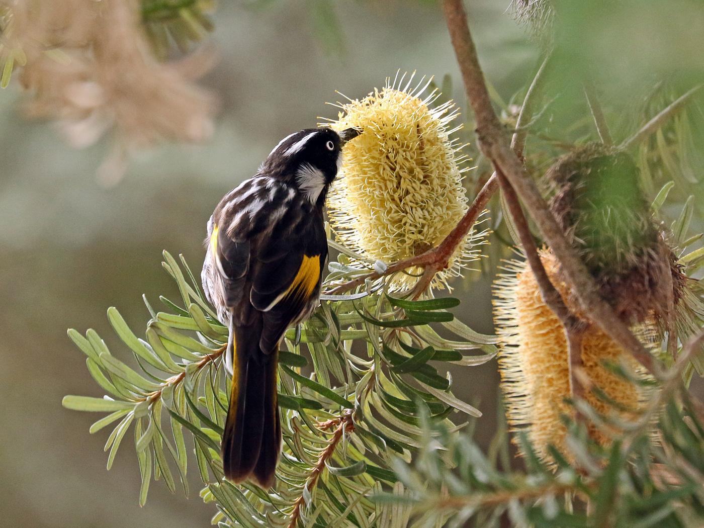 New Holland Honeyeater (Image ID 42259)