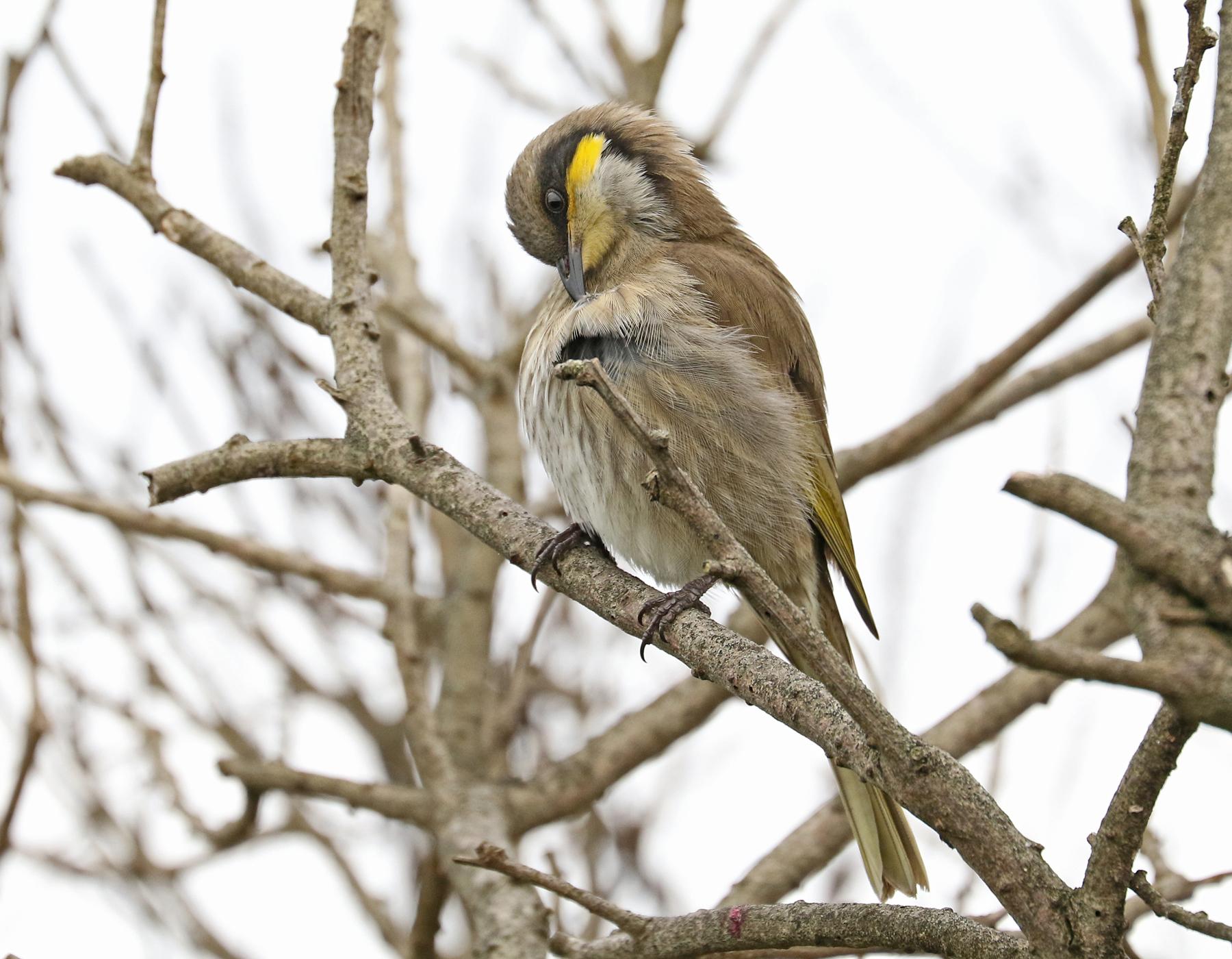 Singing Honeyeater (Image ID 42279)