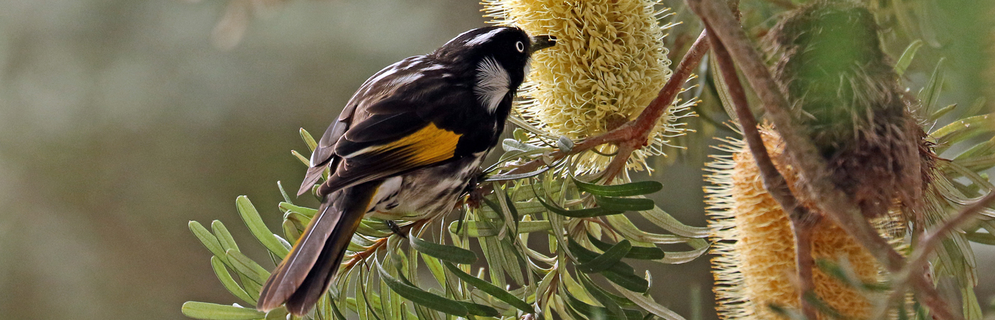 New Holland Honeyeater (Image ID 42244)