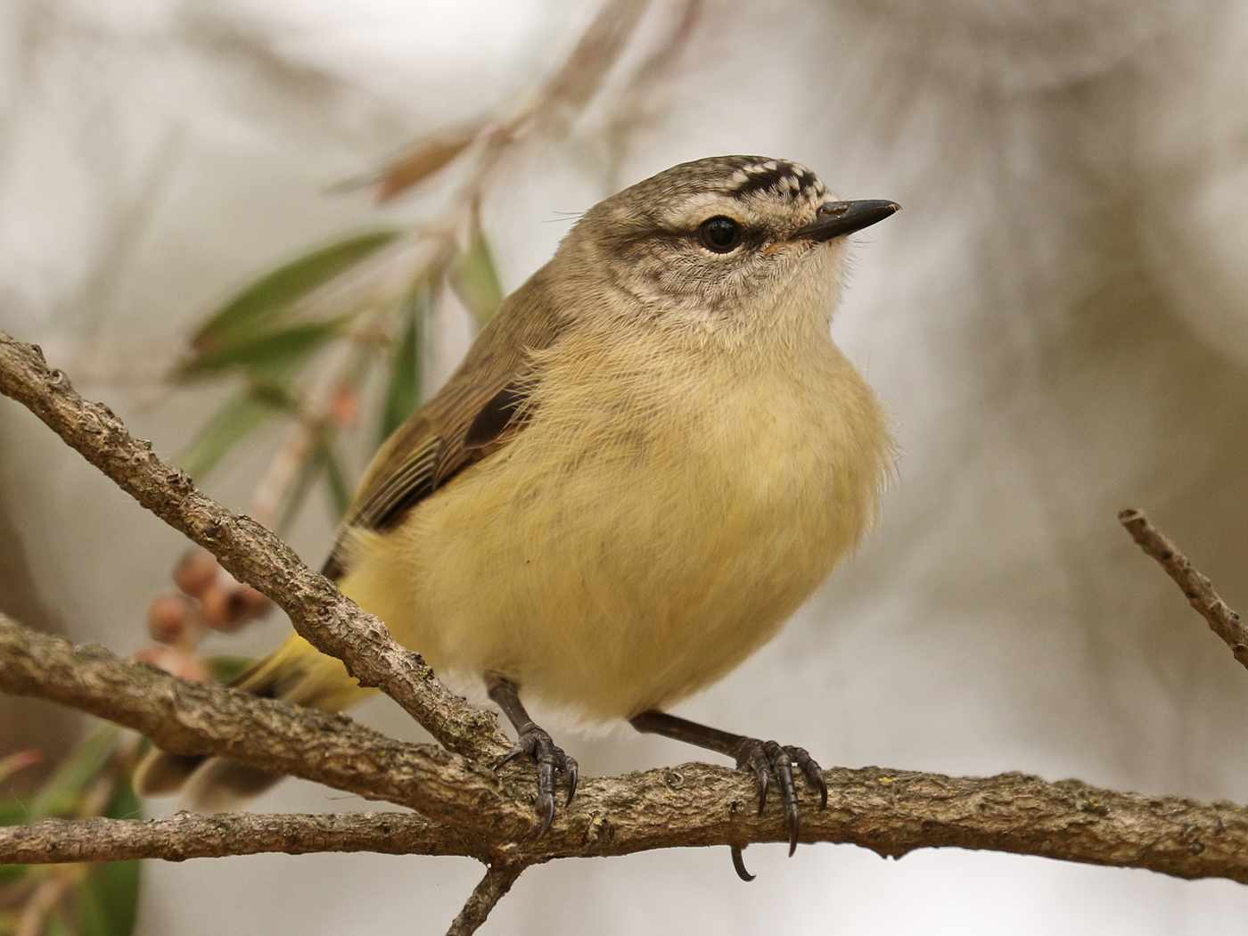 Yellow-rumped Thornbill (Image ID 42371)