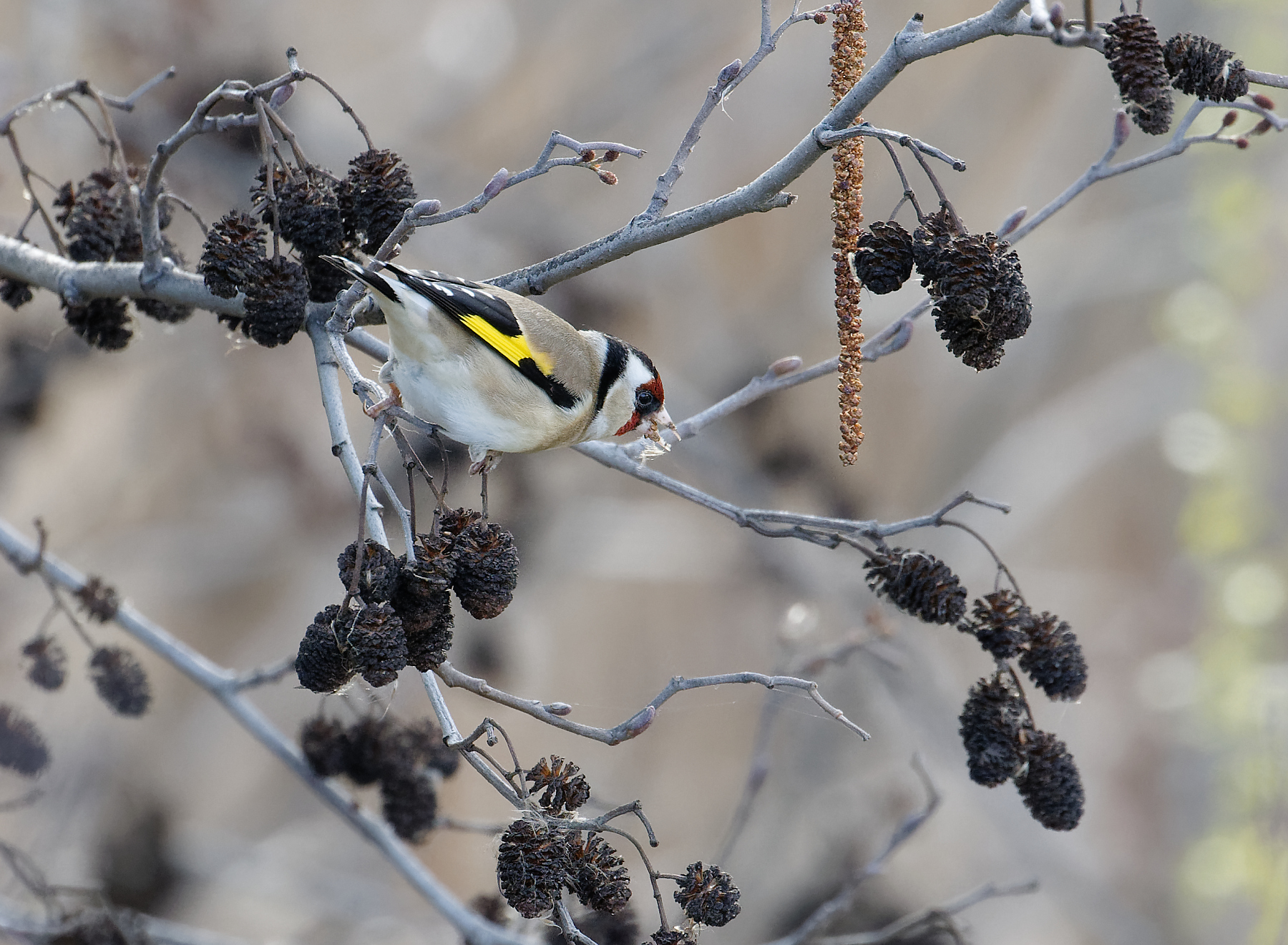 European Goldfinch (Image ID 42265)