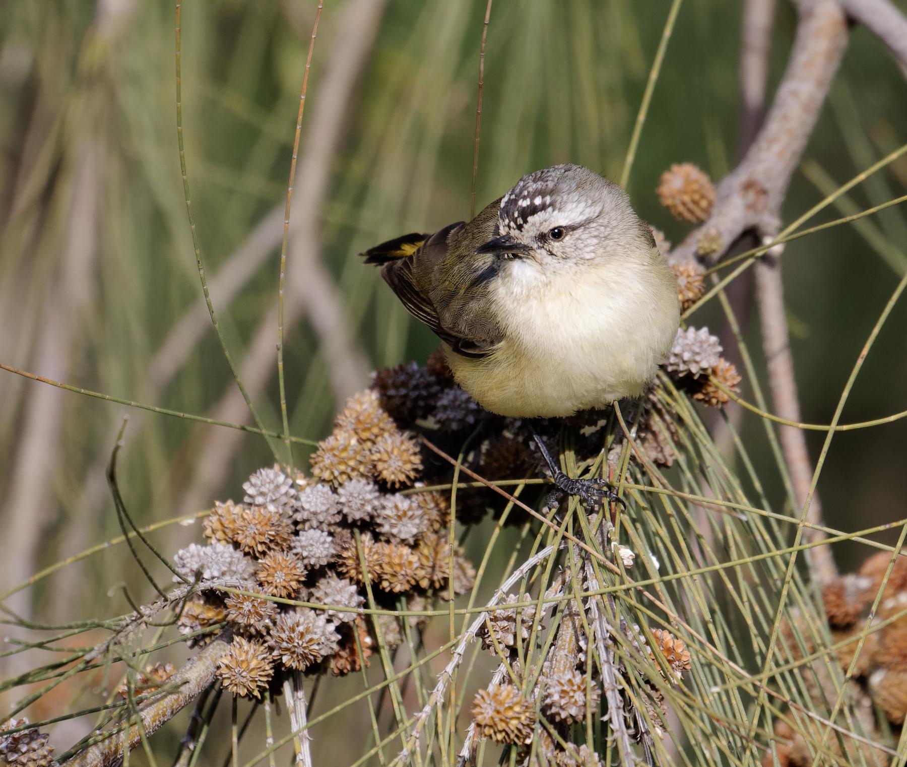 Yellow-rumped Thornbill (Image ID 42560)