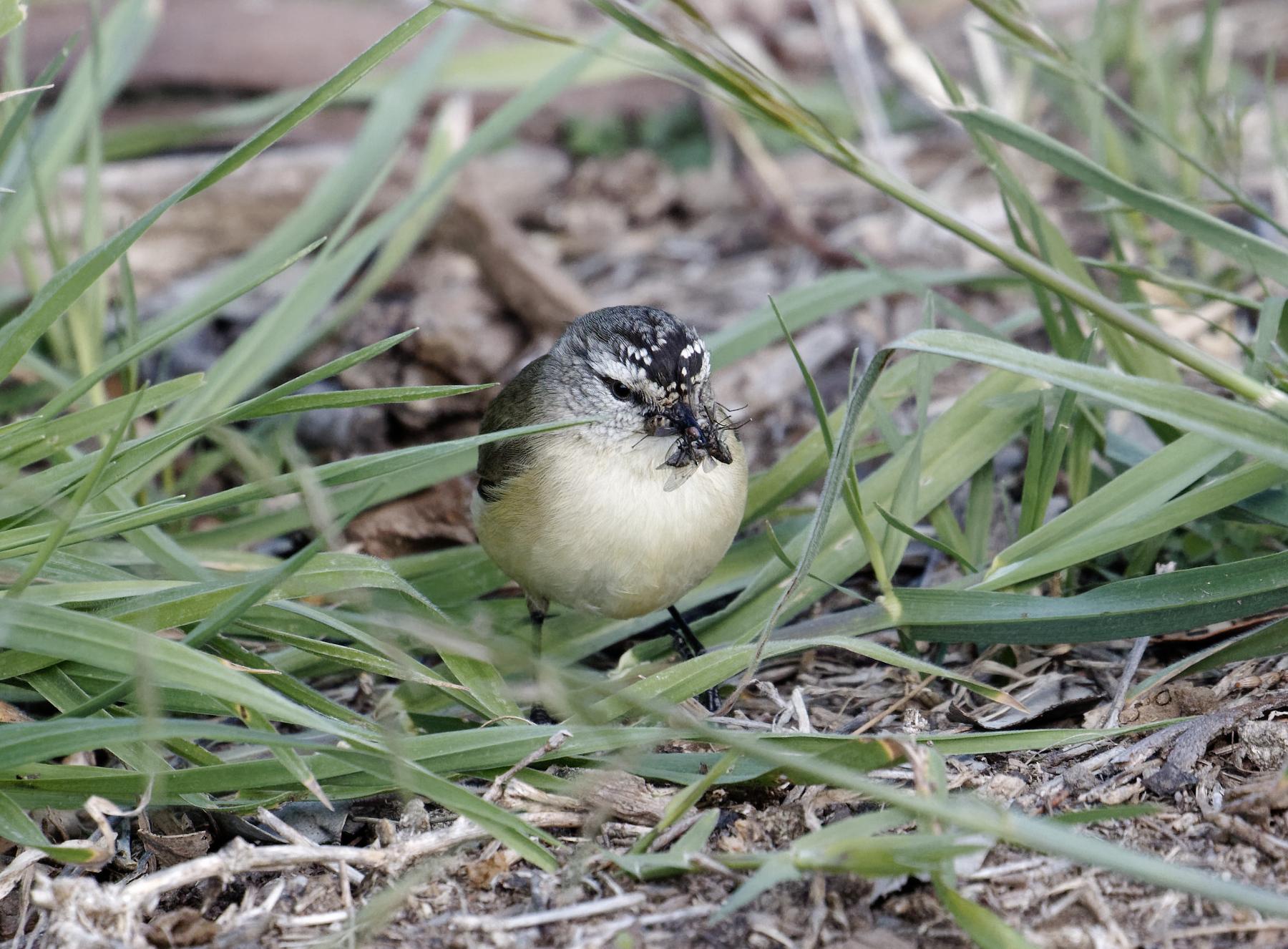 Yellow-rumped Thornbill (Image ID 42559)