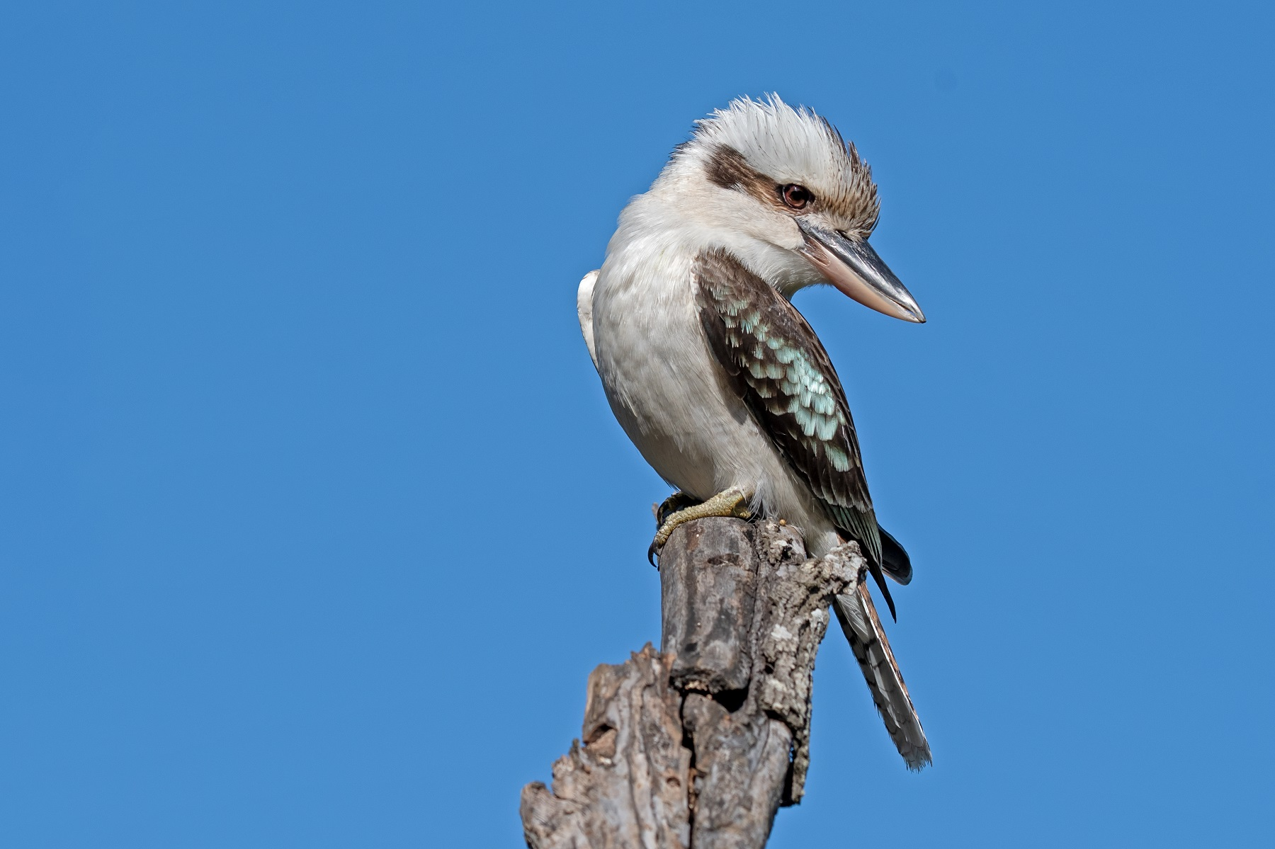 Laughing Kookaburra (Image ID 42458)
